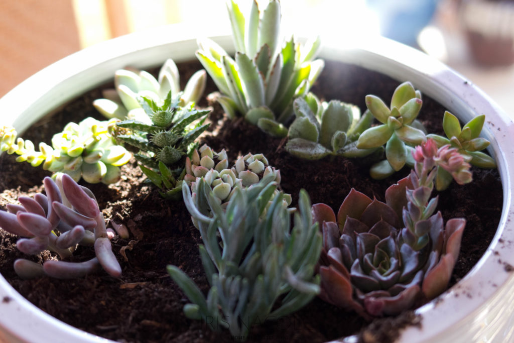 Succulent Garden-The Perfect Family Project!-IrisNacole.com